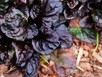 Ajuga Plant | How to Care for Ajuga Plants | Ajuga Plant Care | Ajuga Plant Care Tips and Tricks | Ajuga Plants | Ajuga Plant for the Garden