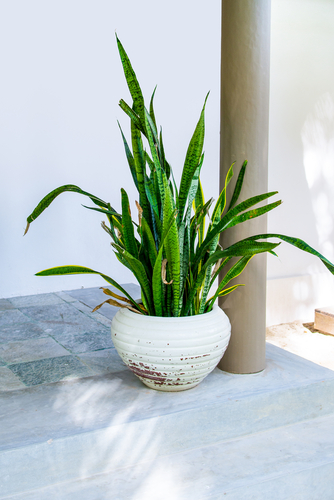 Snake Plants | Plant Guide: Snake Plant | Snake Plant Tips and Tricks | How to Care for Snake Plants | Snake Plant Care | Tips and Tricks for Snake Plants