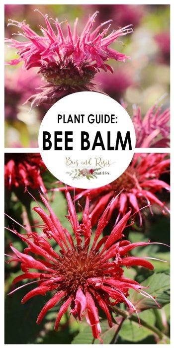 Bee Balm | Grow Bee Balm | Learn How to Grow Bee Balm | Tips and Tricks to Grow Bee Balm | Bee Balm Tips and Tricks | How to Care for Bee Balm