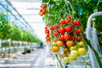 Hothouses | Hothouse Growing | Growing Tomatoes In Hothouses | Houthouse Gardening | Hothouse Gardening Tips and Tricks | Hothouse Garden | Tomato Hothouse Garden