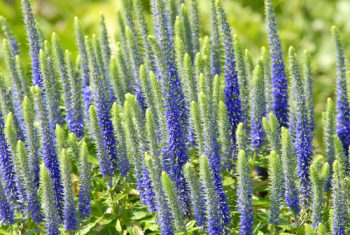 Veronica | Veronica Flowers | Veronica Plants | Veronica Perennials | Veronica Plant Guide | Veronica Plant Care | Veronica Plant Care Tips and Tricks | Veronica Plants Tips and Tricks