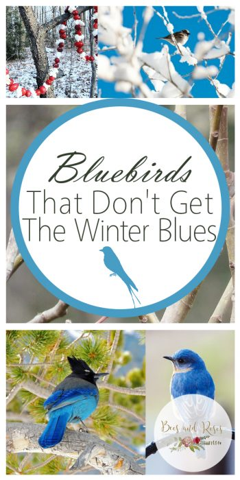 Bluebirds | Bluebird Shelter | Shelter for Bluebirds | Care for Bluebirds | Learn How to Care for Bluebirds | Tips and Tricks to Attract Bluebirds | Attract Bluebirds