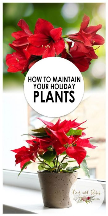 Holiday Plants | Maintain Holiday Plants | Tips and Tricks to Maintain Holiday Plants | Holiday Plant Care | Care for Holiday Plants