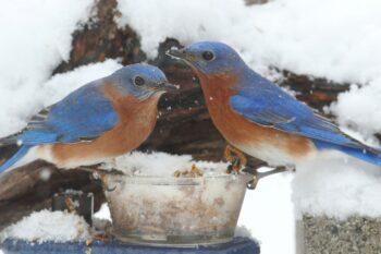 Bluebirds in winter