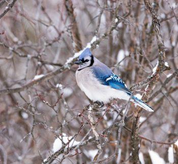 Bluebirds | Bluebird Shelter | Shelter for Bluebirds | Care for Bluebirds | Learn How to Care for Bluebirds | Tips and Tricks to Attract Bluebirds | Attract Bluebirds