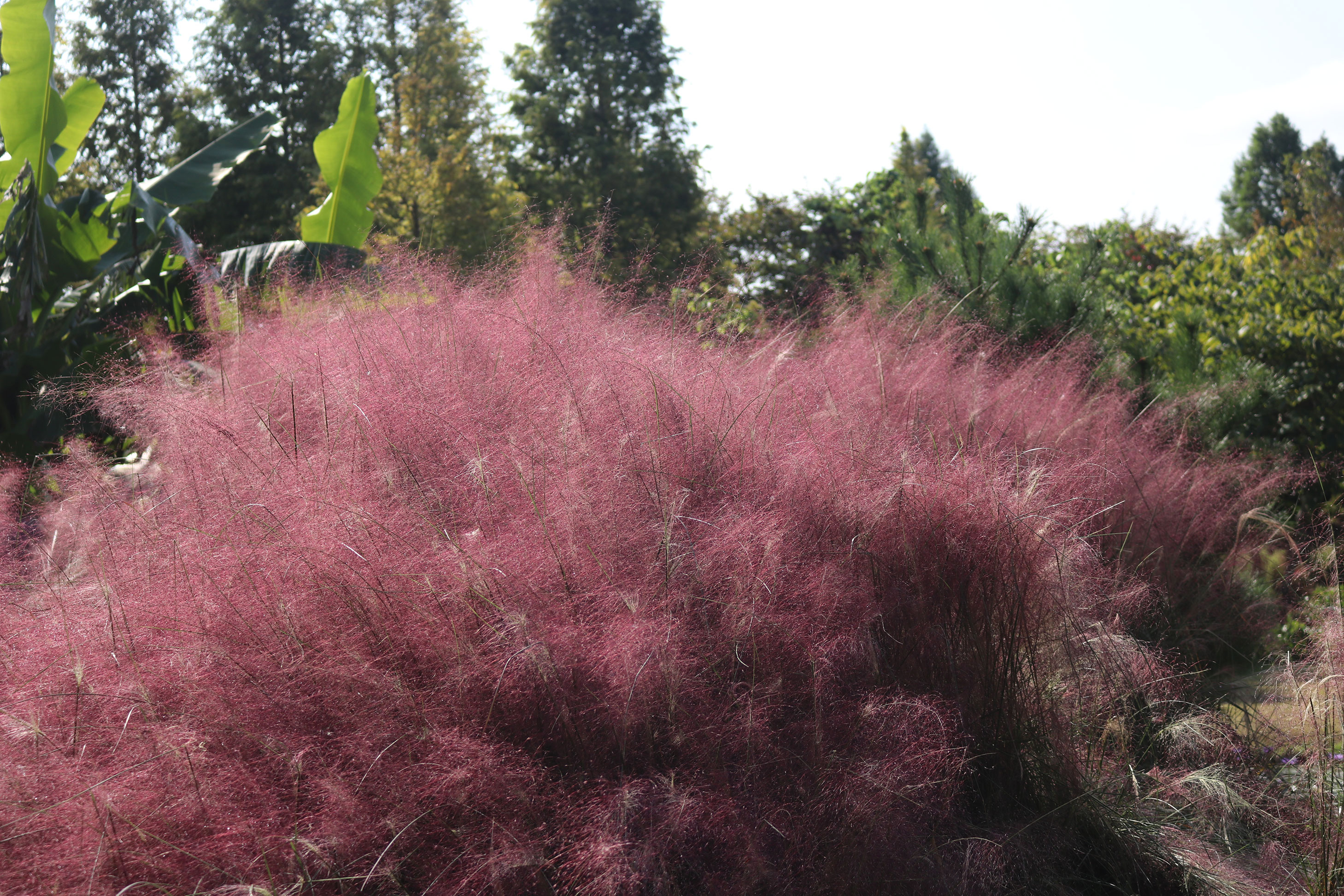 cotton candy | cotton candy ornamental grass | ornamental grass | grass | plant guide