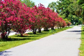 crepe myrtle | tree | garden | landscape | crepe myrtle tree | plant guide