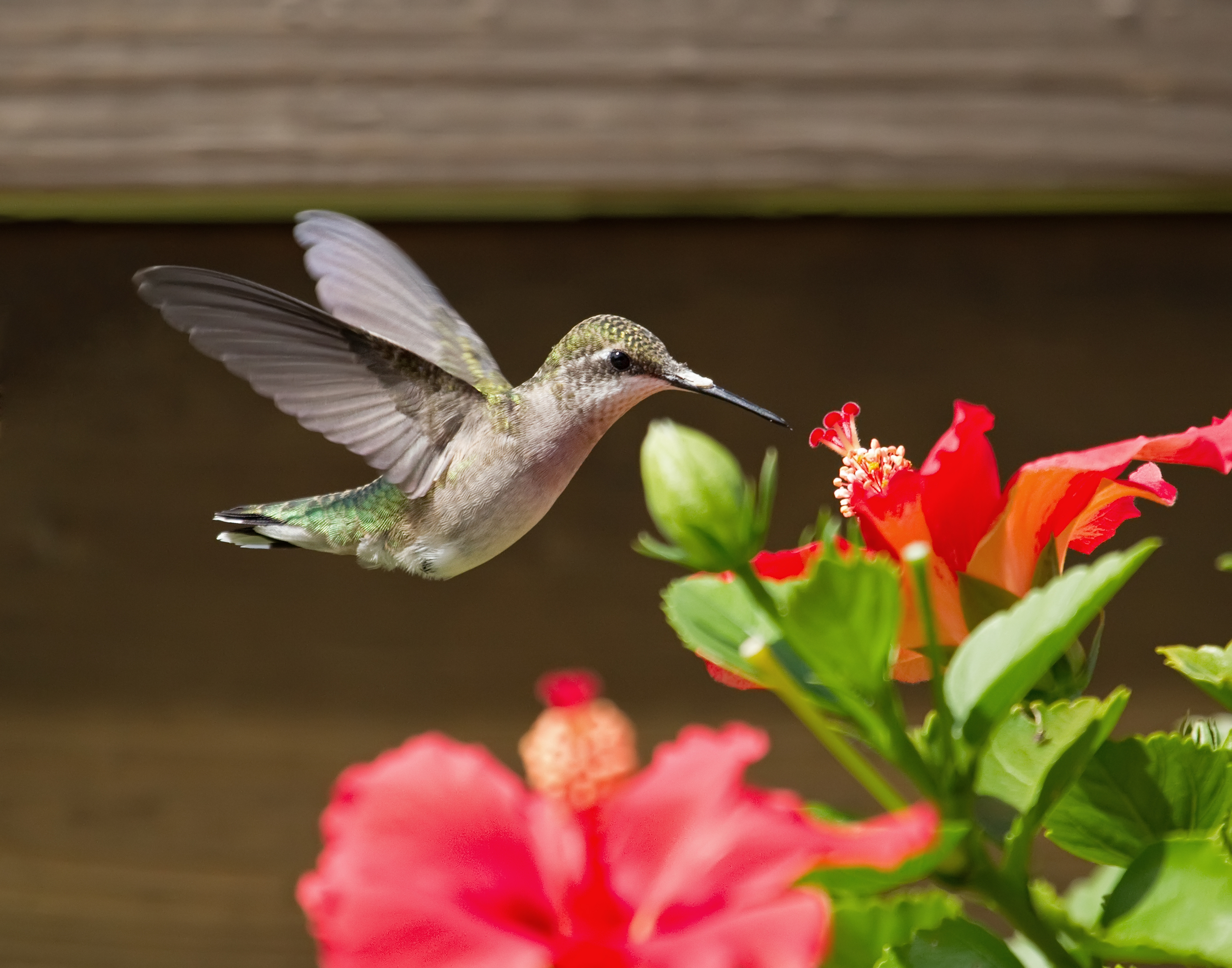 hummingbird getting nectar from a red flower