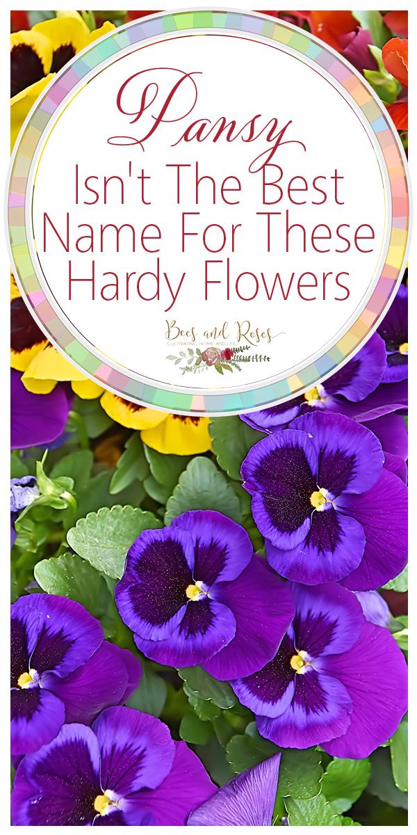 pansy | pansies | flowers | hardy flowers | flowers for beginners | garden | flower ideas | garden ideas