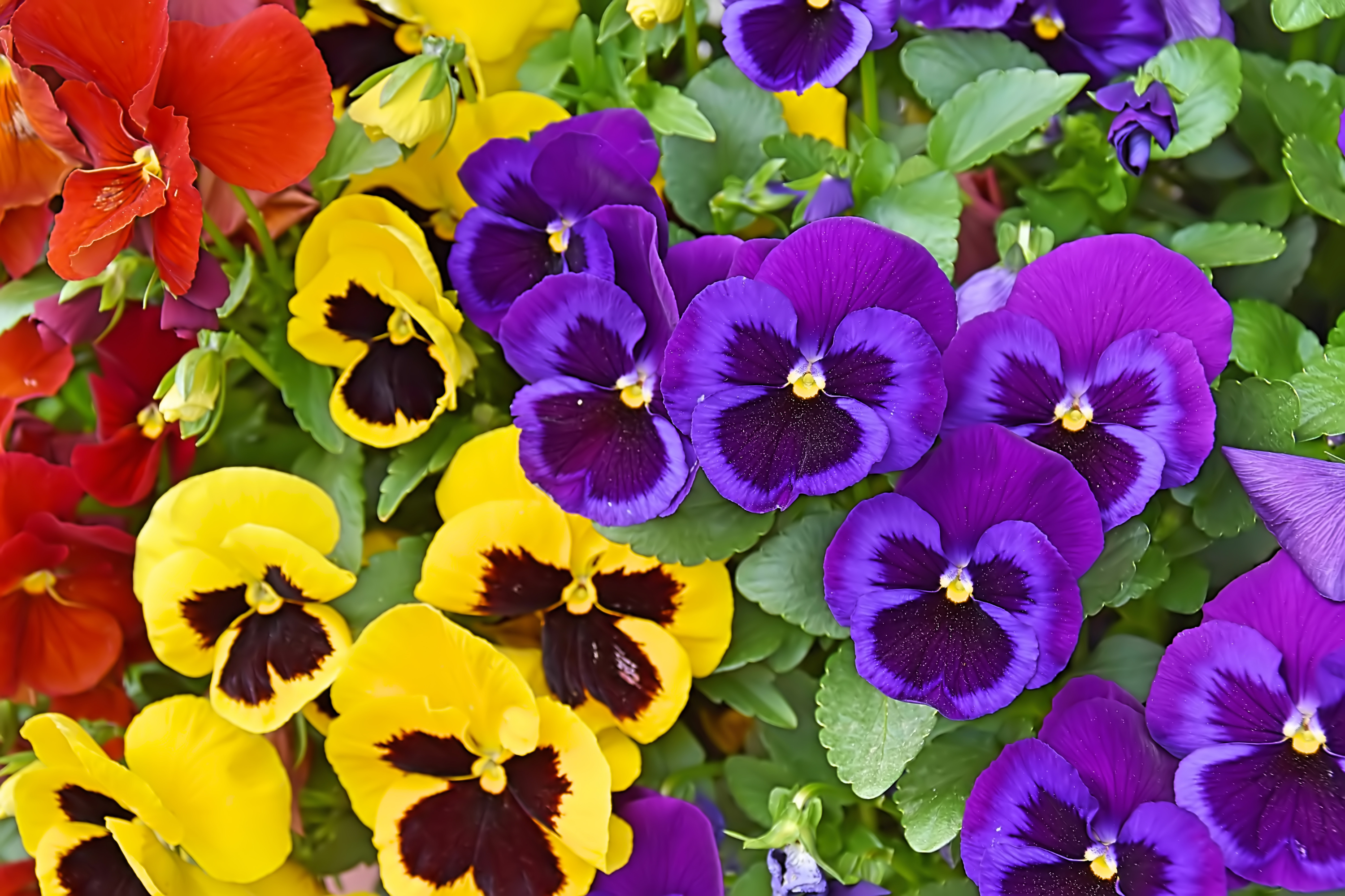 pansy | pansies | flowers | hardy flowers | flowers for beginners | garden | flower ideas | garden ideas