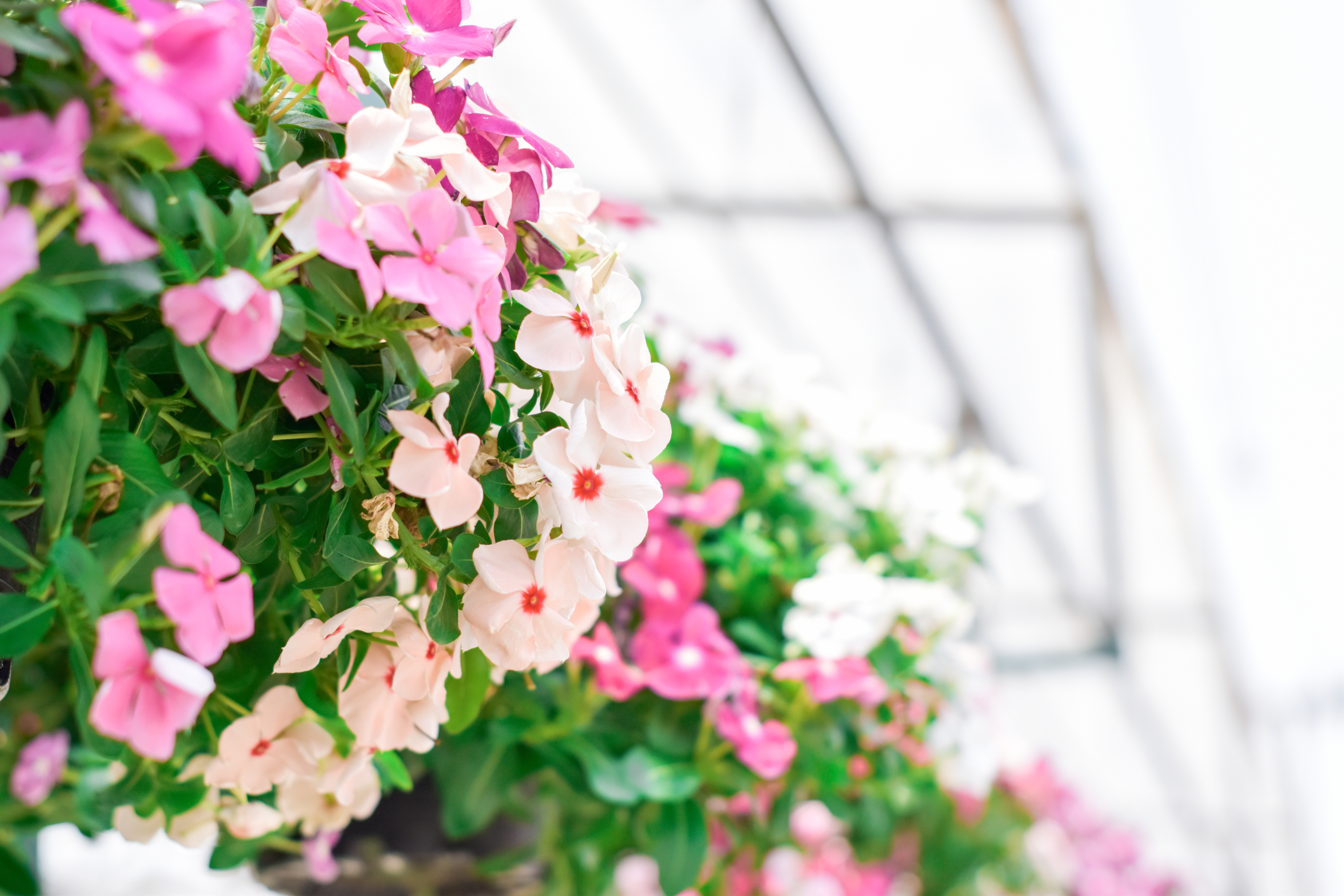 hanging | hanging baskets | flowers | flowers for hanging baskets | hanging basket trailers | plants | hanging basket