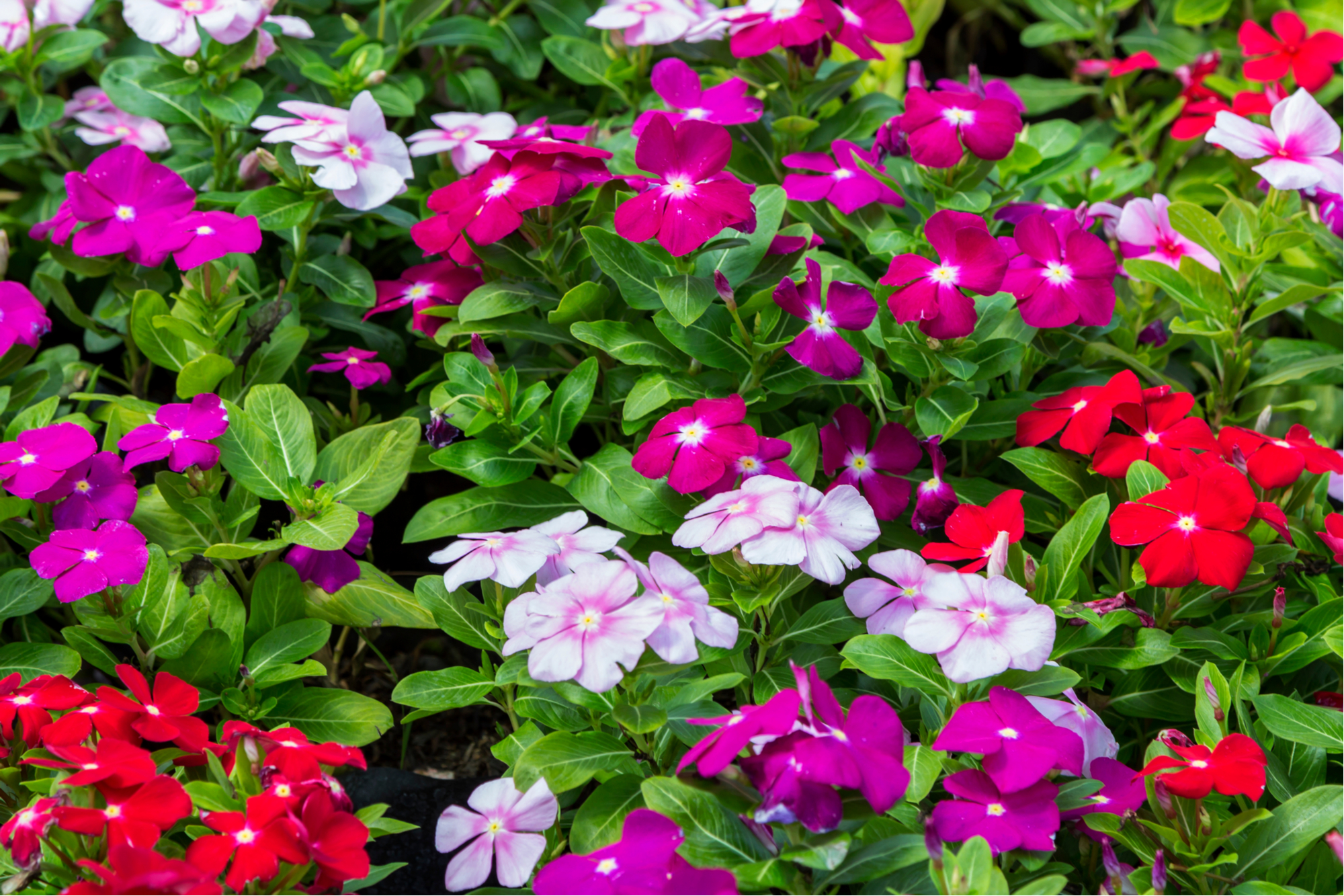 periwinkle | plant guide | plants | flowers | groundcover | groundcover flowers | myrtle herb