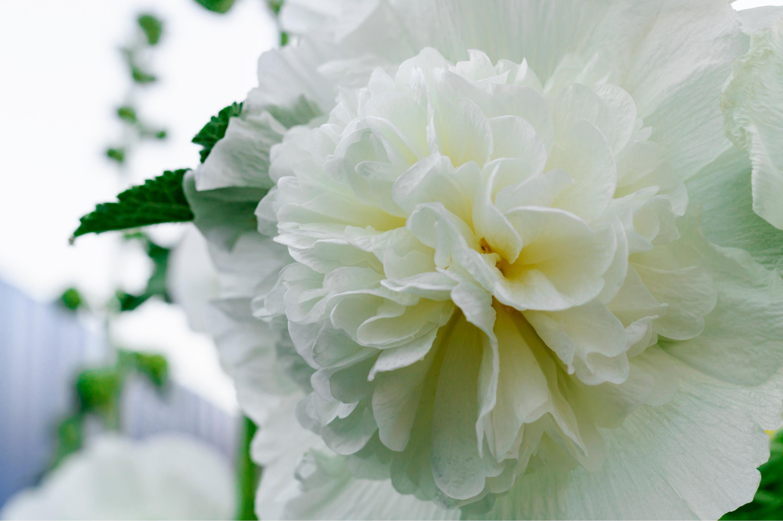 hollyhock | meet the mallows | flowers | medicinal flowers | herbal medicine | medicine | garden