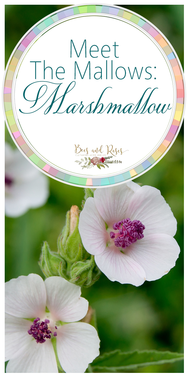marshmallow | meet the mallows | flowers | plants | herbal plants | medicinal plants