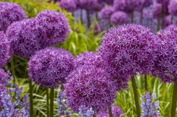 bulbs you should plant in fall | bulbs | fall | fall gardening | gardening | flowers | Fall Planting Bulbs