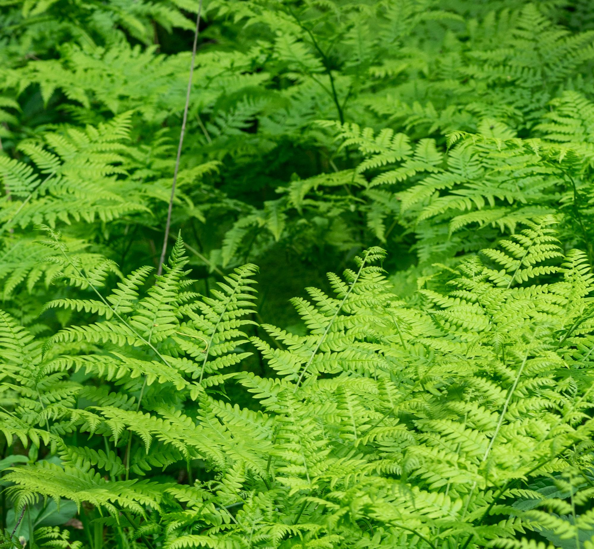 ferns | plant guide | palmate fern | pinnate fern | plants | tips for ferns