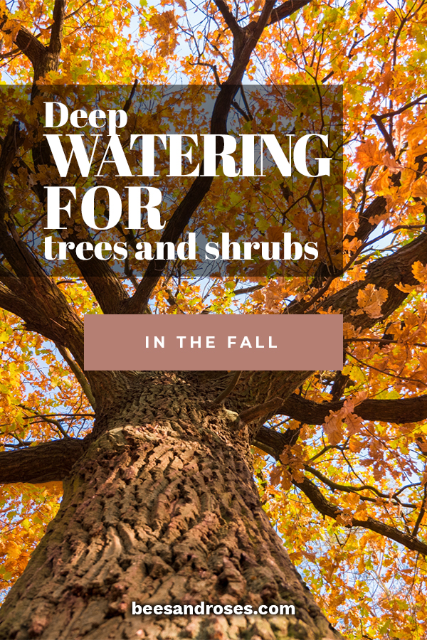 Despite the cooler and maybe wetter season, Fall is the best time for deep watering. This is because you want your plants to have an adequate supply for the roots. Once winter comes, and the ground freezes, there is no way for water to get to the roots. Let me share my tips for trees, plants and even a deep watering system. This is the time to prepare your plants for their long winter nap. With these tips, you will ensure them plenty to drink during the cold months of winter.
