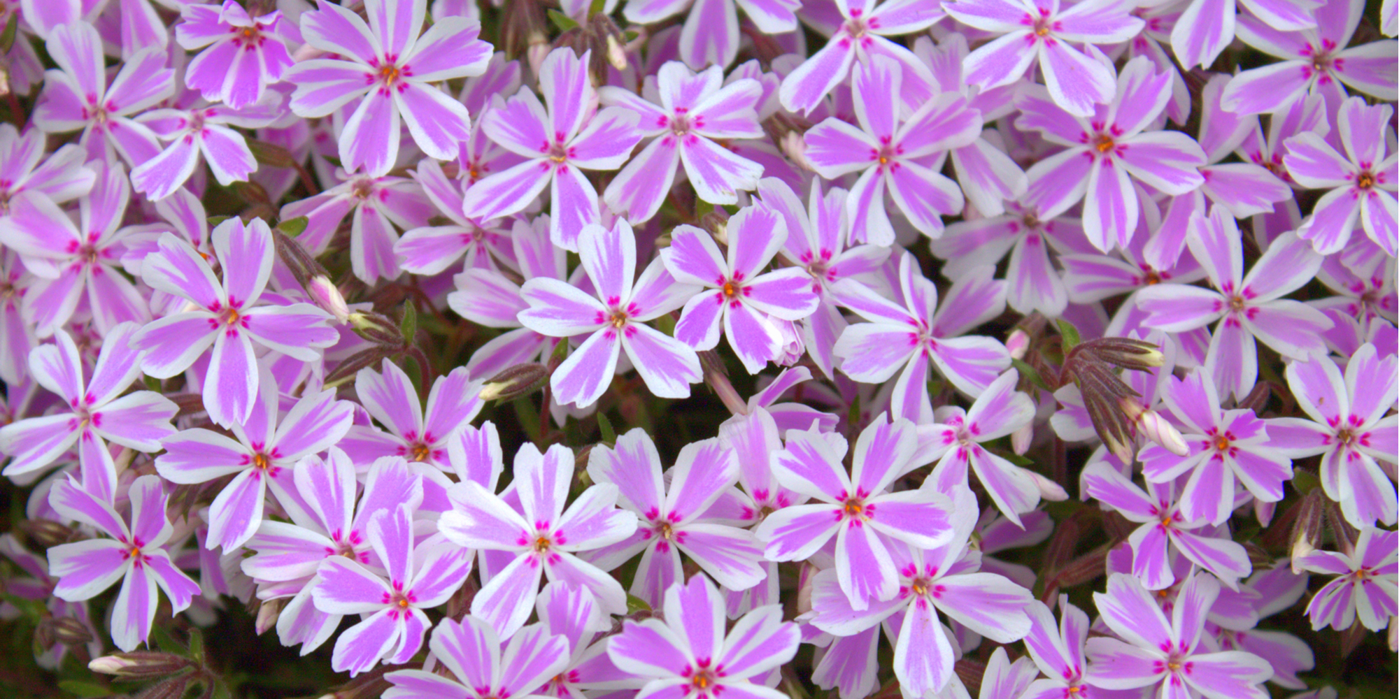 Did you know that phlox is a winter blooming flower? For more flowers that bloom in the winter, read here. Your garden will look happy all year long.