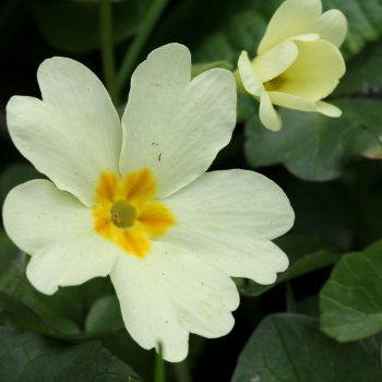 Did you know that primrose is a winter blooming flower? They are the perfect addition to any yard and will look so happy during the colder months.