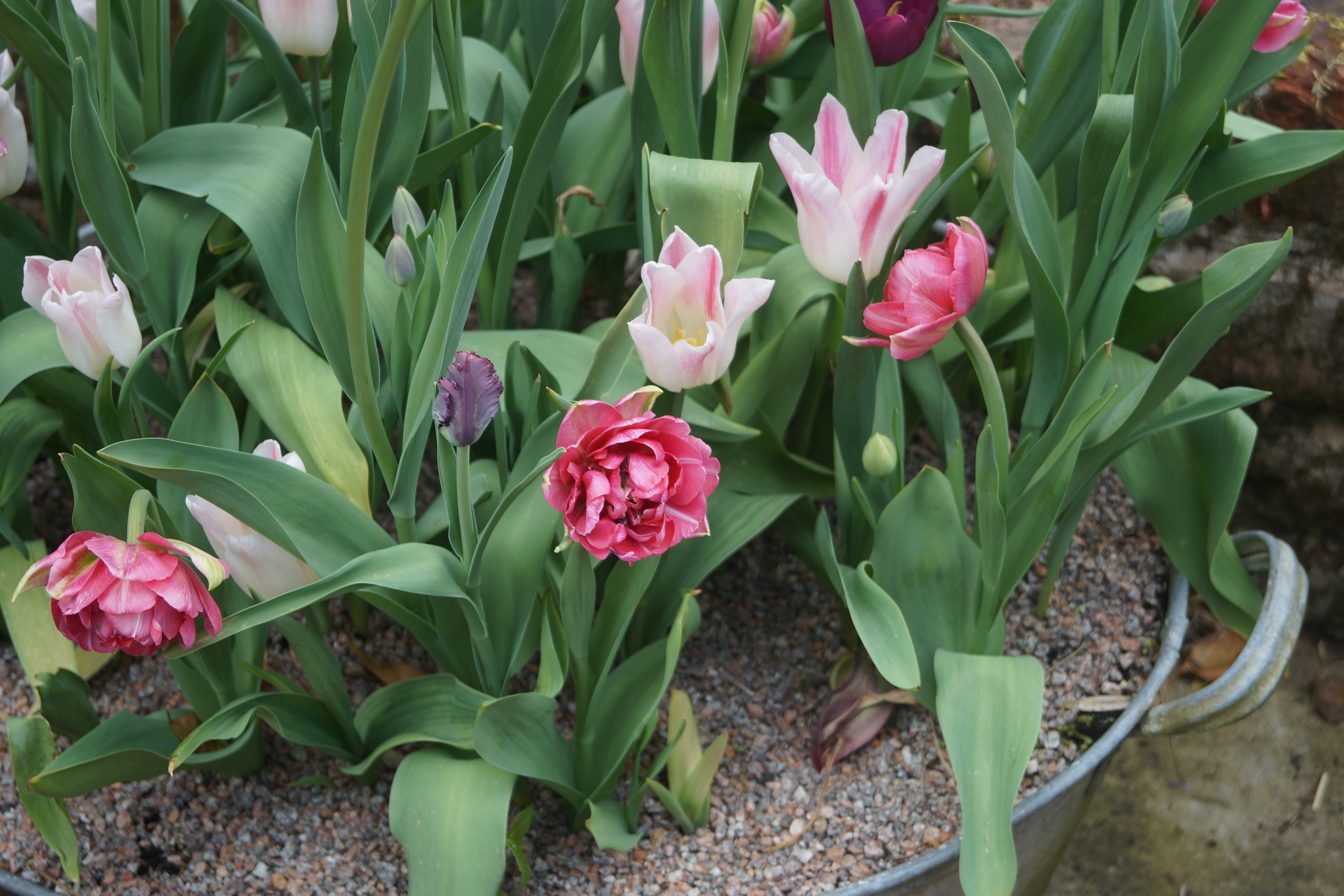 If you want to make the most beautiful pots for your garden, try layering bulbs in the pot. You'll be amazed at how beautiful your pots look.
