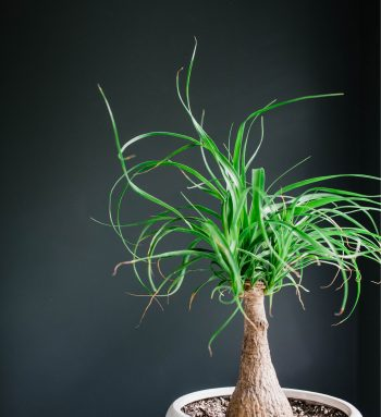 If you own a cat and you want houseplants, make sure you know which houseplants that are safe for cats. Ponytail palm trees are a fun plant to keep around.