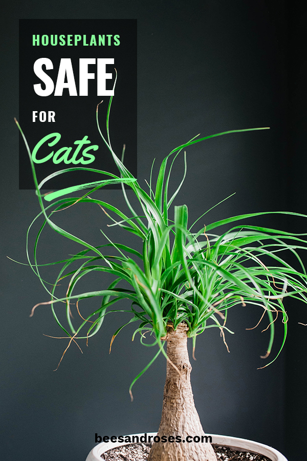 If you have cats you know what a problem houseplants can be. Not only do cats love to dig causing dirt to fly everywhere, some plants can be poisonous to them. Keep reading to learn about beautiful houseplants that are safe for a feline friends. No longer will you worry about whiskers, tabby, or socks getting sick from your houseplants. #catsafehousplants