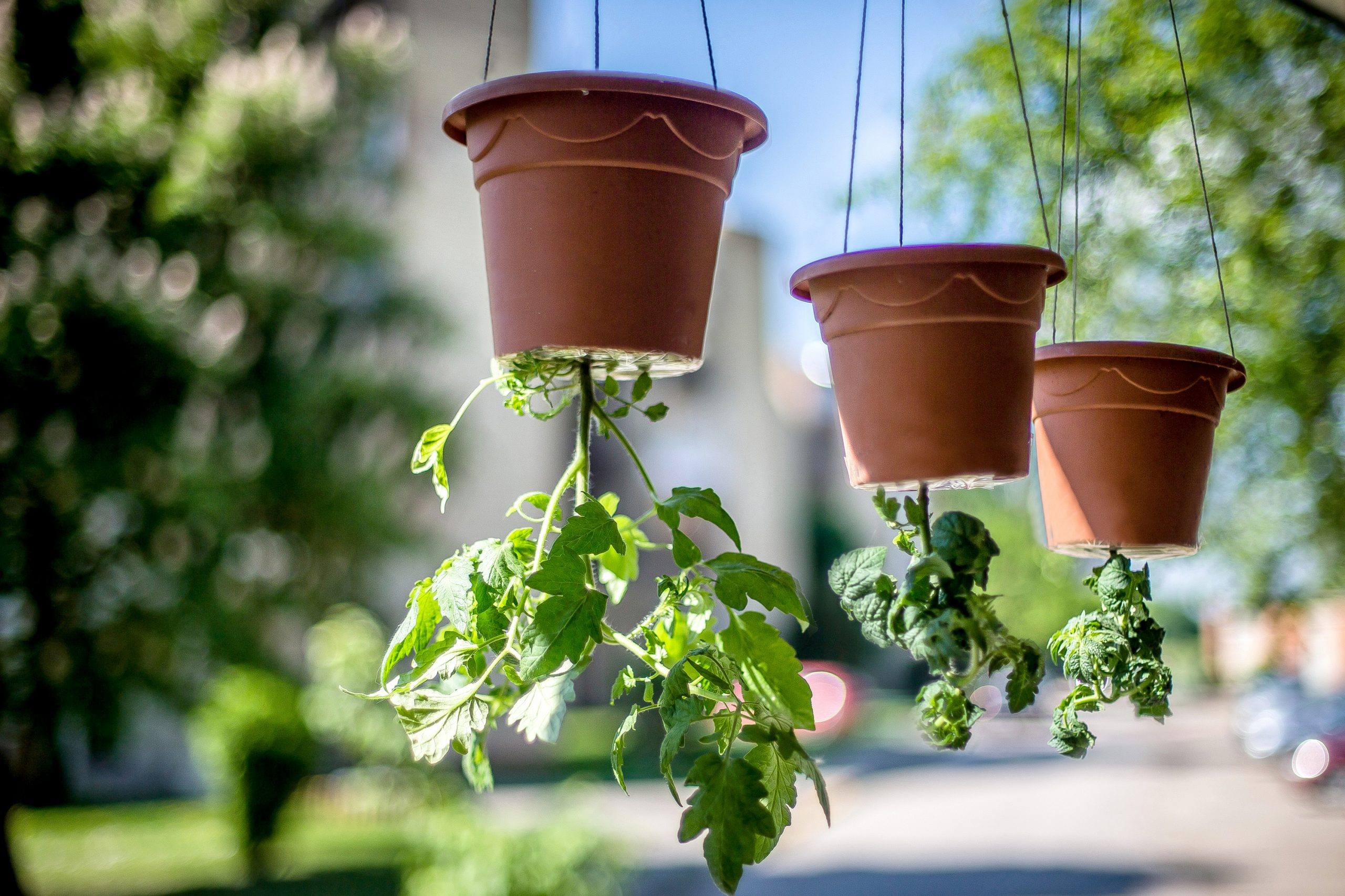 If you are short on garden space, or just want to add a little greenery somewhere else, try to grow your own upside down tomatoes. Just make sure they get plenty of sunlight.