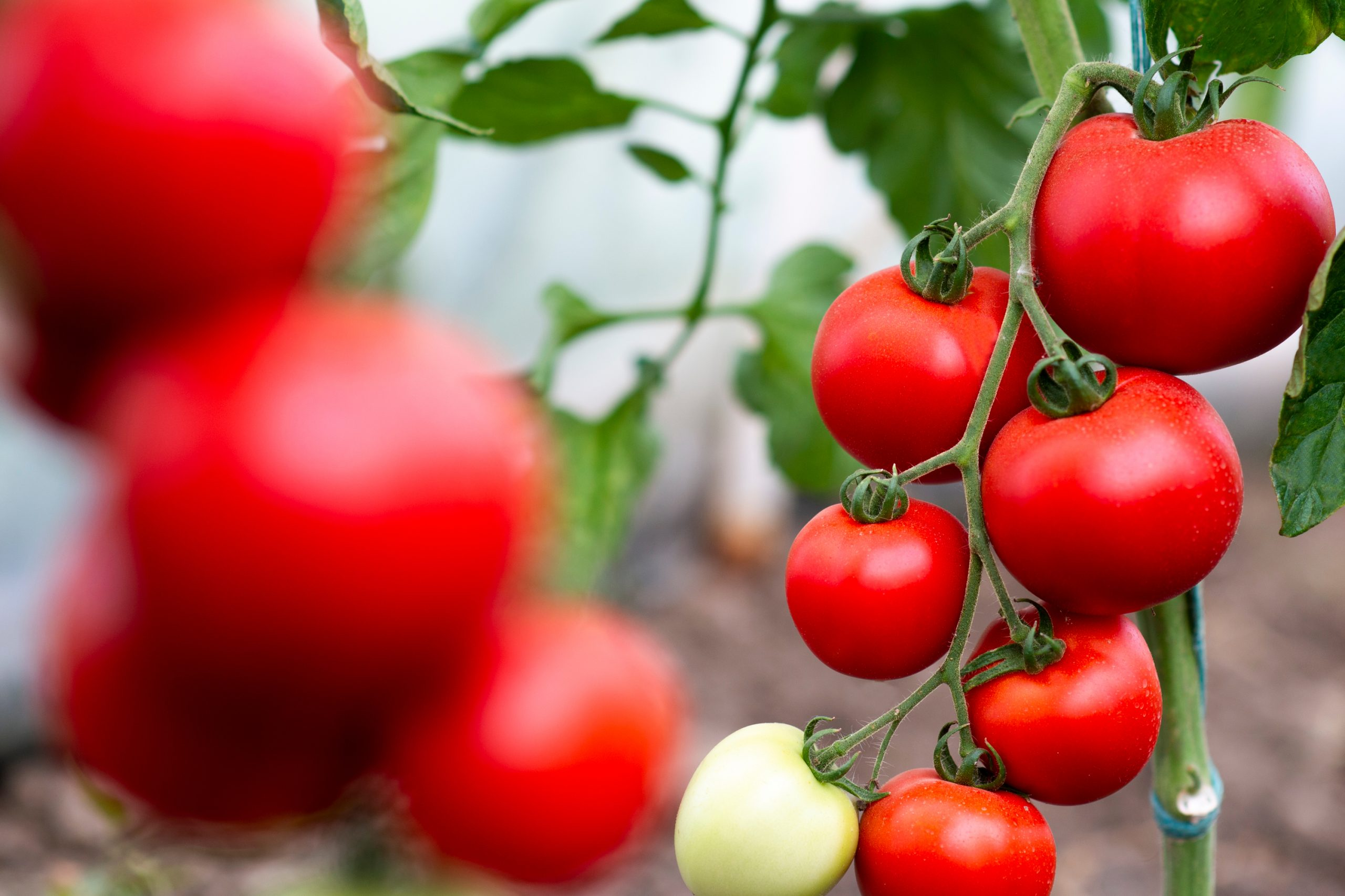 If you are short on garden space, or just want to add a little greenery somewhere else, try to grow your own upside down tomatoes. They are super easy to grow.