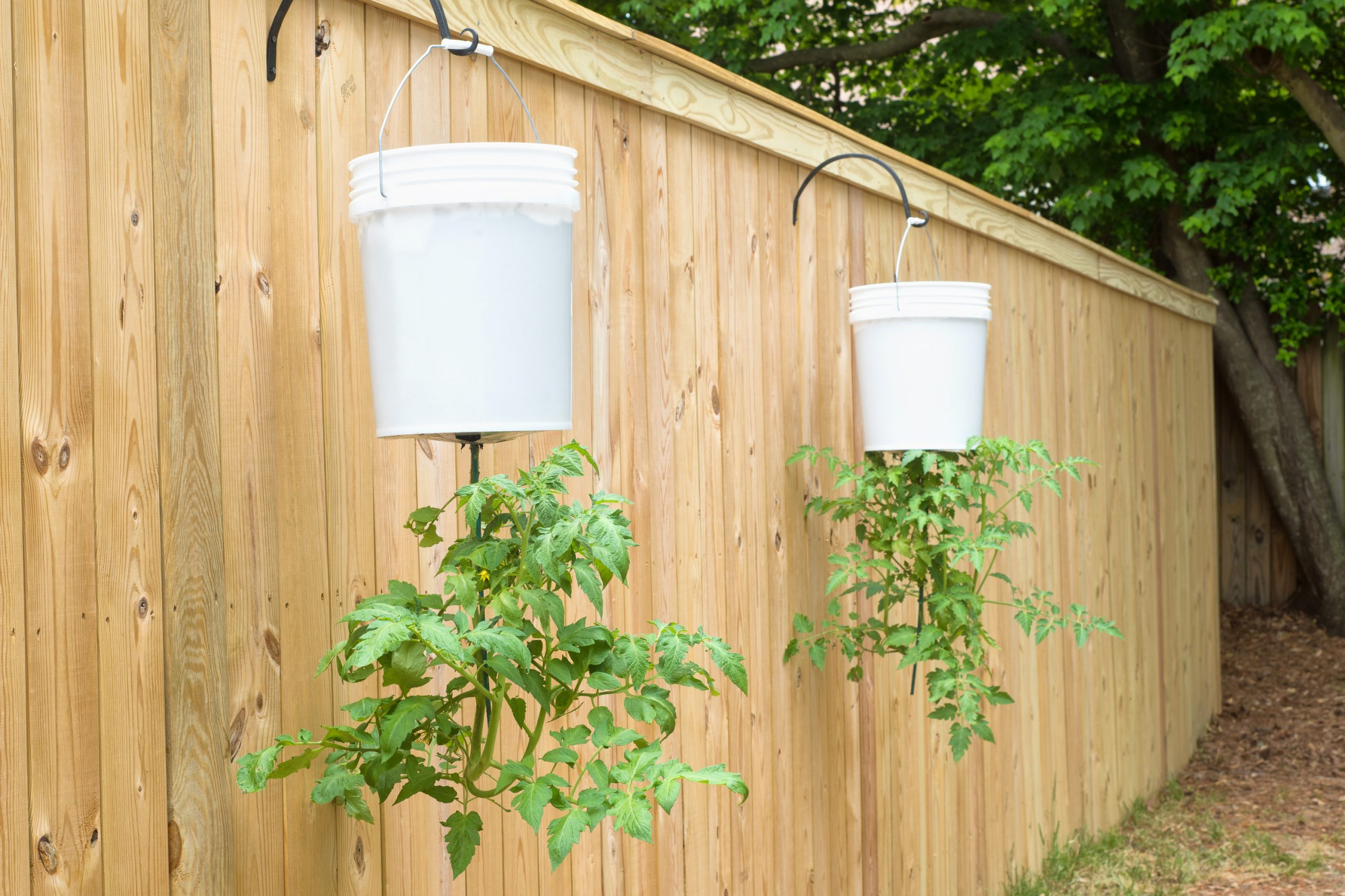 If you are short on garden space, or just want to add a little greenery somewhere else, try to grow your own upside down tomatoes. Just make sure you are properly watering them.