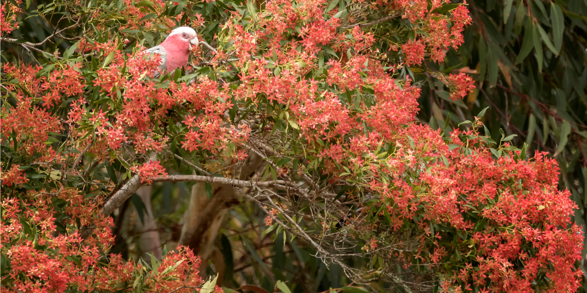 If you live in a drought susceptible area of the country, try one of these Australian garden landscaping ideas. The Christmas Bush is always a great option.