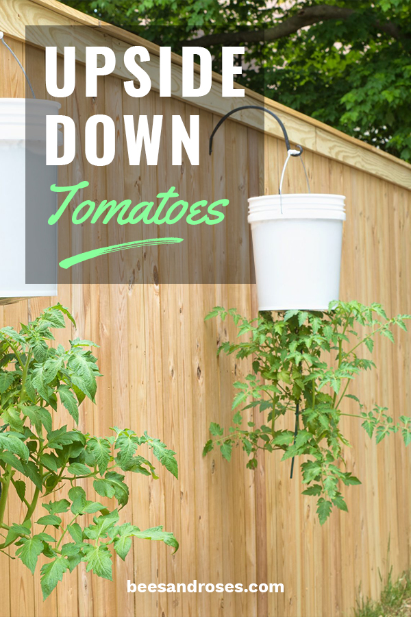 Tomatoes are not easily grown where I live due to the climate and short growing season. One of the ways that I think has become super popular is growing upside down tomatoes. Yes, that's right, upside down. Completely opposite of what most do. Let me show you tips for bucket planters, how to make your own planters (DIY), and other tips and tricks to make this growing experience one of the best and easiest. #growingupsidedowntomatoes #gardeningtips #howtogrowtomatoes