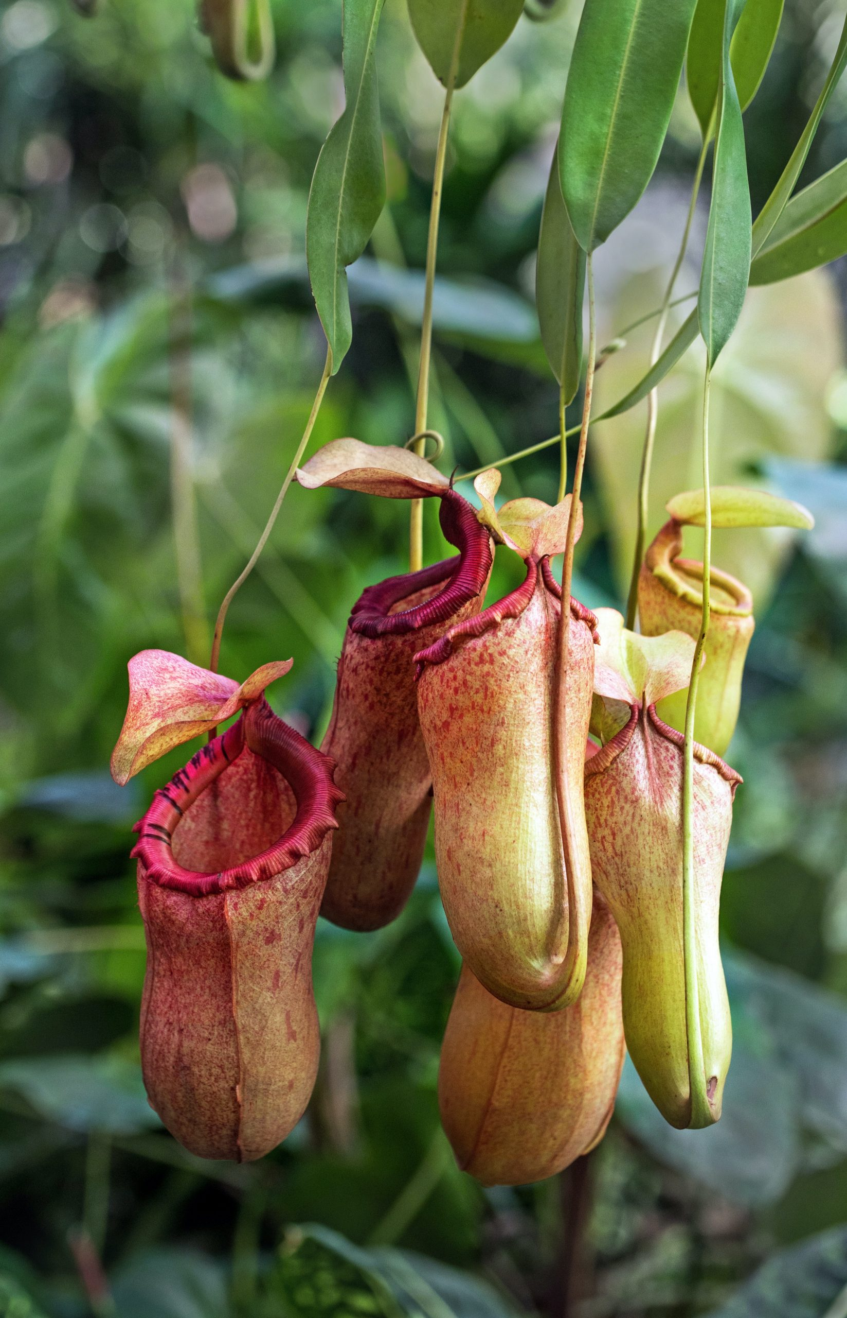 Pitcher plants are one of the most unique looking garden plants out there. High carnivorous, these plants are great for controlling pests like insects and bugs. Learn how to care for your own pitcher plant with this great Pitcher plant guide.