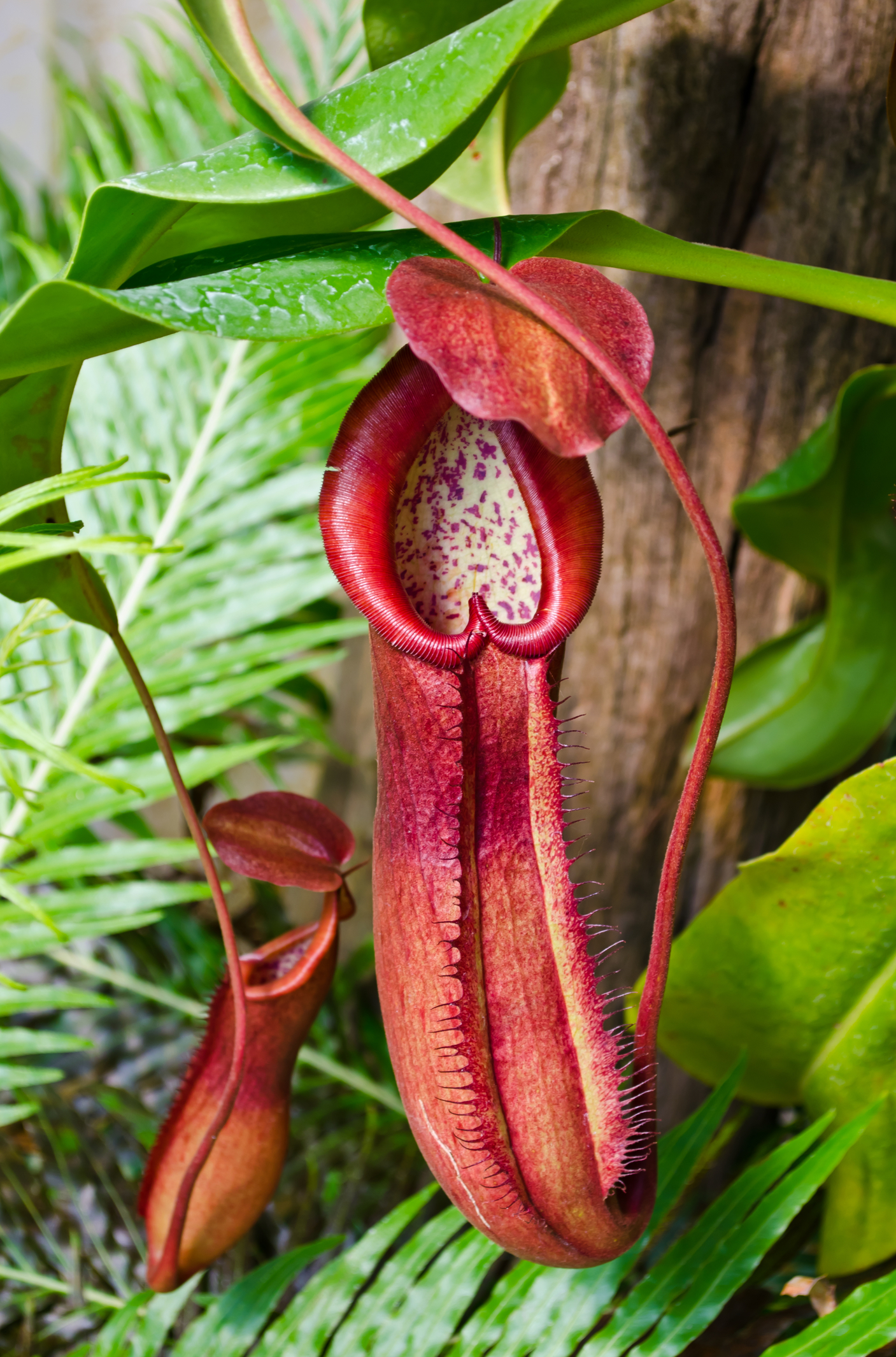 Pitcher plants are one of the most unique looking garden plants out there. High carnivorous, these plants are great for controlling pests like insects and bugs. Learn how to care for your own pitcher plant with this great Pitcher plant guide. Check it out!