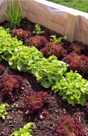 Victory Gardens are a blast from the past. They emerged during World War 2 as a way to help with the shortage of food during the war. They have once again become popular so why not give it a try. Take a look!
