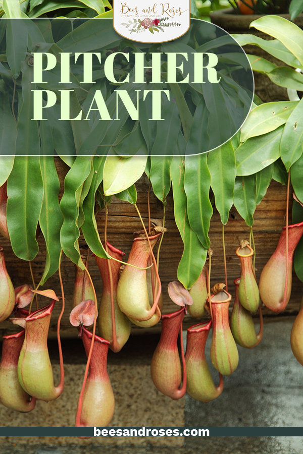 One of the world's most interesting carnivorous plants, the Pitcher Plant is a must have addition for any plant lover. And despite it's appearance, this plant is actually incredibly easy to care for, use the tips and tricks detailed here for more. #beesandrosesblog #indoorgardeningideas #gardening