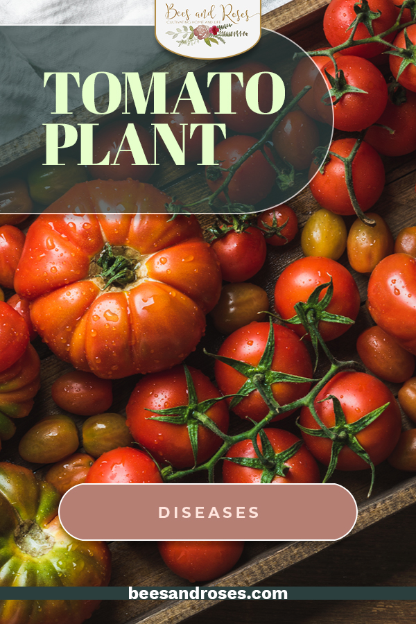 Unfortunately, every gardener has to deal with one of these tomato plant diseases at one time or another. Learn how to treat them yourself with these helpful tips and tricks. #beesandrosesblog #gardening #vegetablegardening