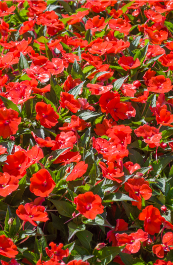 Putting together beautiful flower combinations is one of my favorite parts of landscaping. And now that Summer is in full swing, why not get your home looking beautiful? All you need are these great ideas for flower combinations! You'll have the best yard in the neighborhood!
