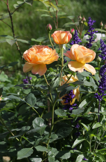 Putting together beautiful flower combinations is one of my favorite parts of landscaping. And now that Summer is in full swing, why not get your home looking beautiful? All you need are these great ideas for flower combinations! Take a look.