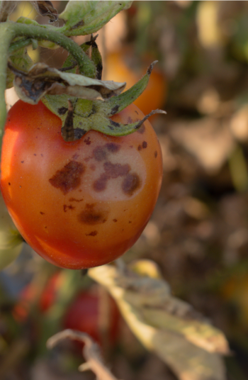 Tomato plant diseases are the absolute worst. You can go from having a healthy crop to having a very sick crop in no time. However, if your plant is sick there are a few things you can do about it. Check it out!