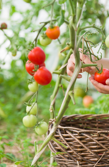 Tomato plant diseases are the absolute worst. You can go from having a healthy crop to having a very sick crop in no time. However, if your plant is sick there are a few things you can do about it.