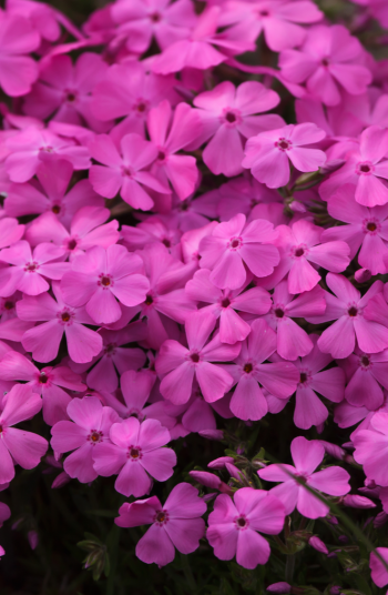 Do you love a beautiful pink phlox? Whether you like Peonies, Geranium, or another variety, the stunning pink perennial flowers on this list are great for any landscape.