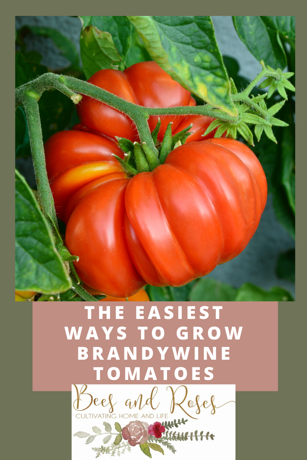 Beesandroses.com can turn your garden from drab to fab! Take your skills to the next level and learn how to grow something new (and do it well, too). Find out what you should know before growing brandywine tomatoes!