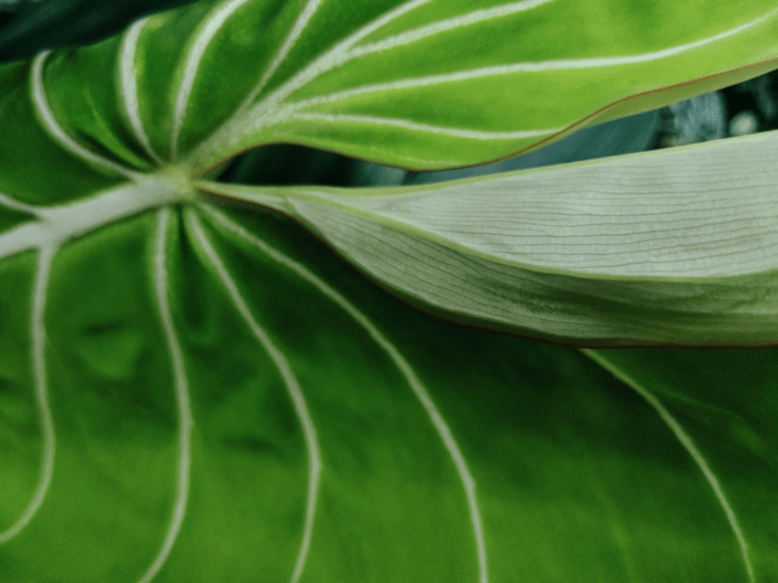 Guide to taking care of Philodendron Gloriosum