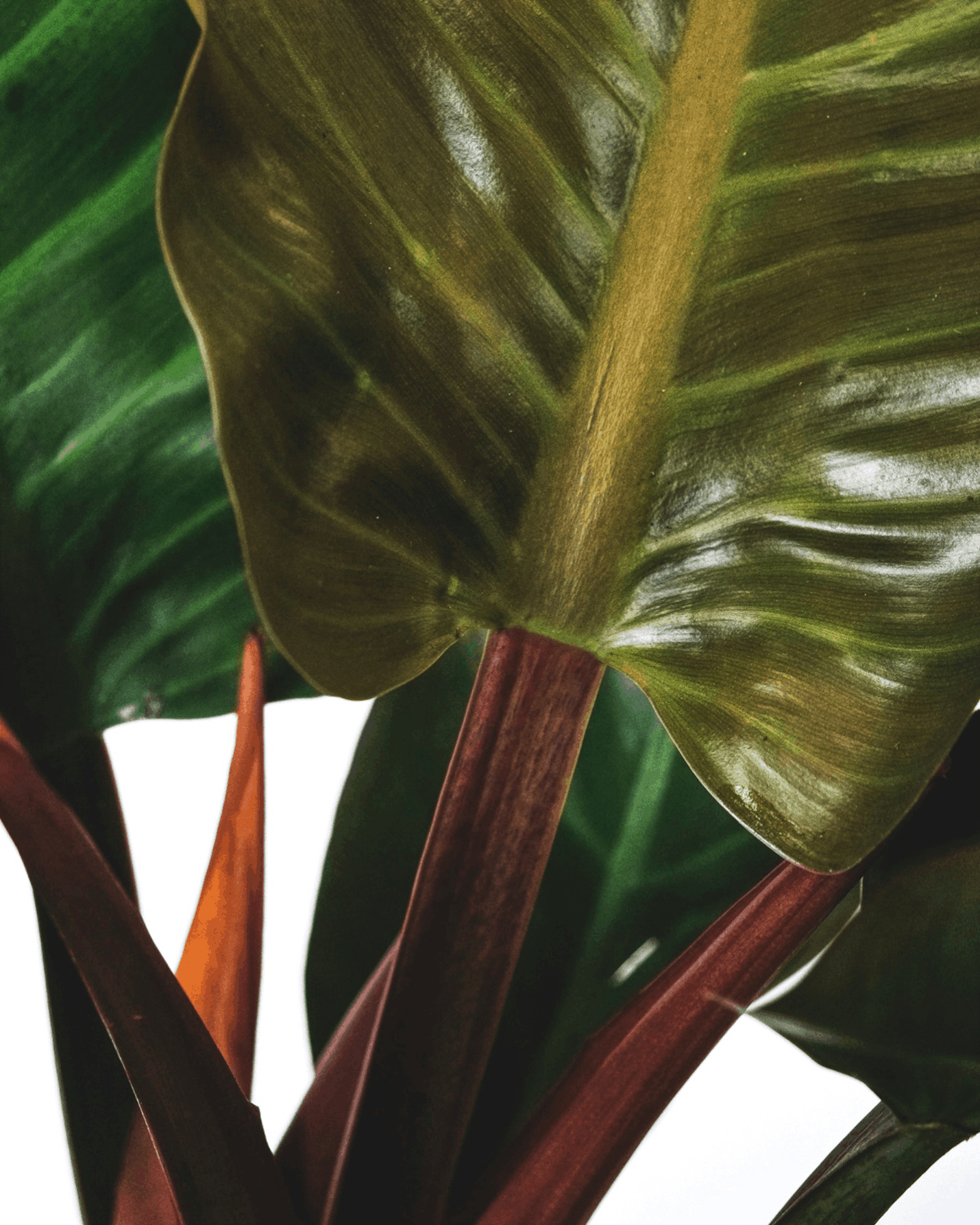Features of Philodendron Gloriosum