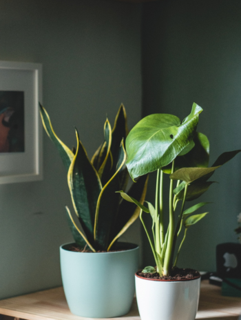 A guide to saving your philodendron Florida ghost from dying