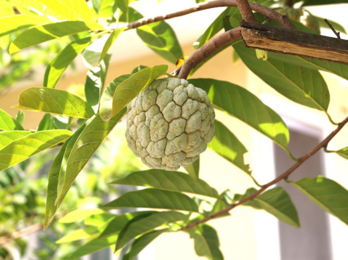 A sugar apple tree