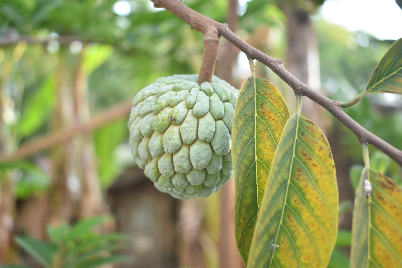 A sugar apple tree in a garden