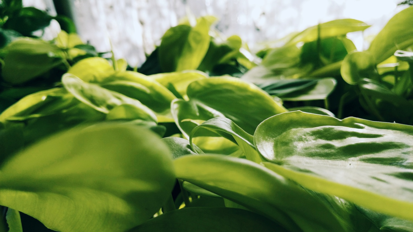 How to take care of philodendron plants when they are growing