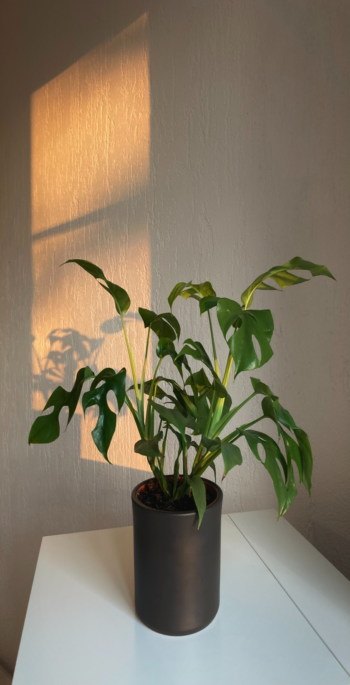Philodendron plants require sufficient lighting