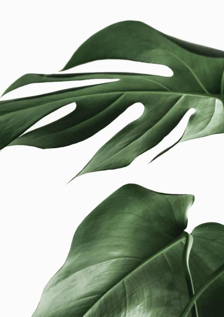 Longer stems of philodendron Florida ghost